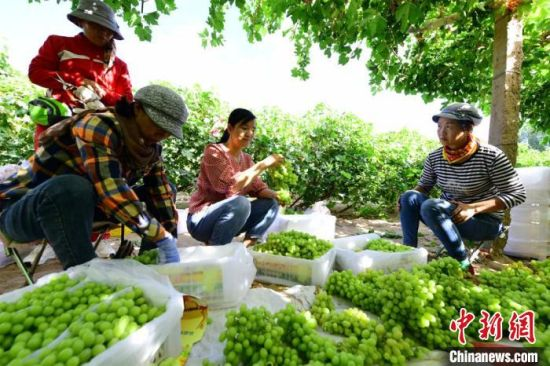 图为果农们忙着采摘成熟的葡萄。 王斌银 摄